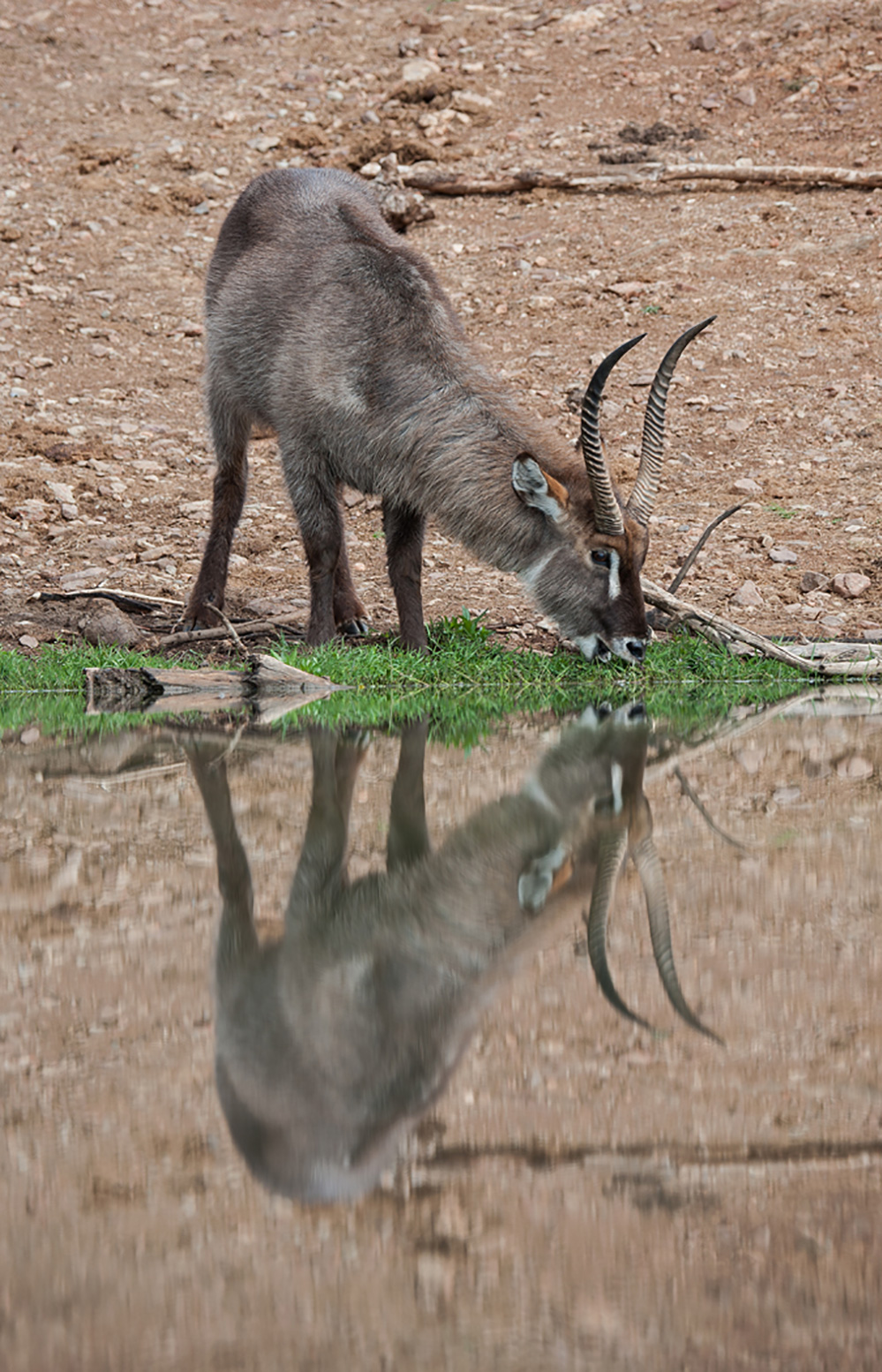 Madikwe Game Reserve Waterbuck Reflection