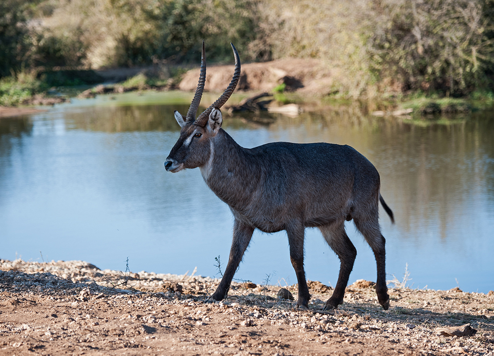 Madikwe Game Reserve Waterbuck