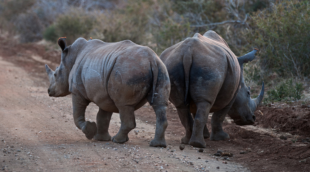 Madikwe Game Reserve White Rhino Duo