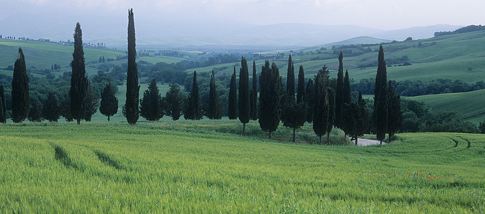 Cypress Trees, near Pienza
