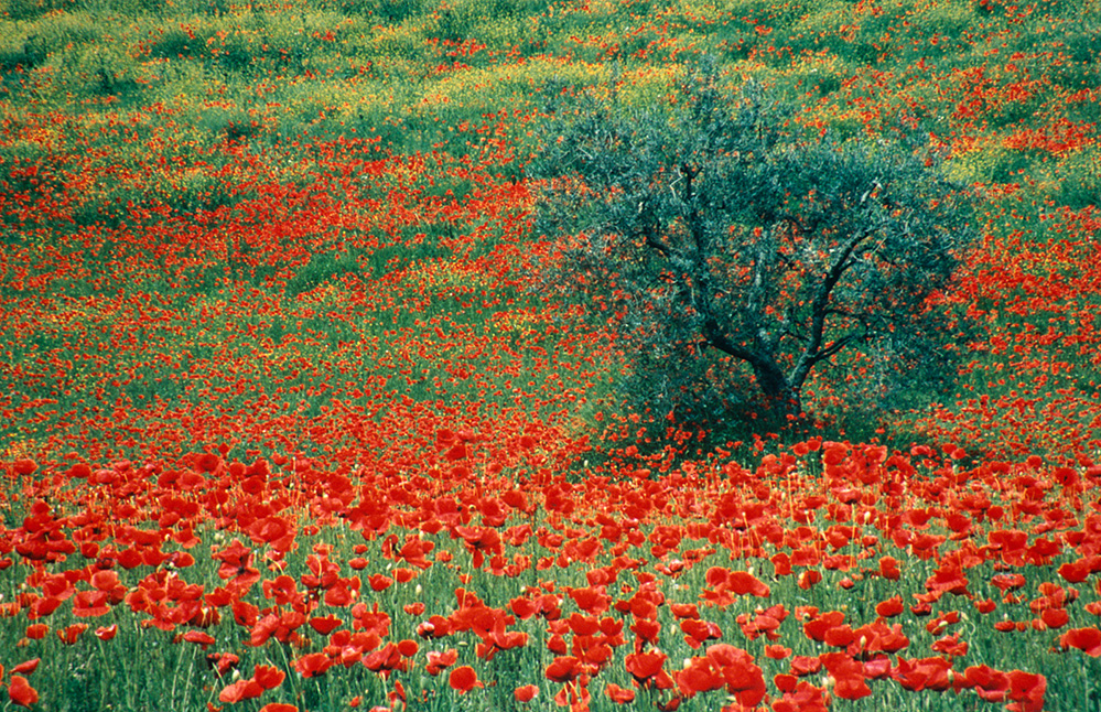 Olive Tree and Poppies, La Foce