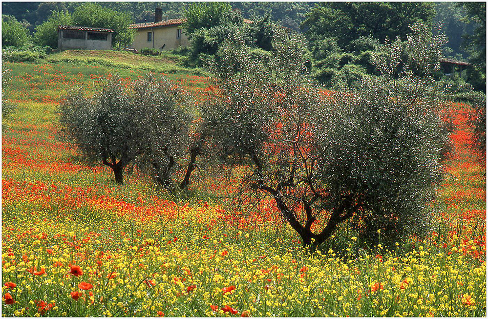 Olive Trees amongst the Poppies, La Foce