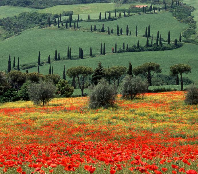 Tuscany Italy Zigzag And Poppies La Foce